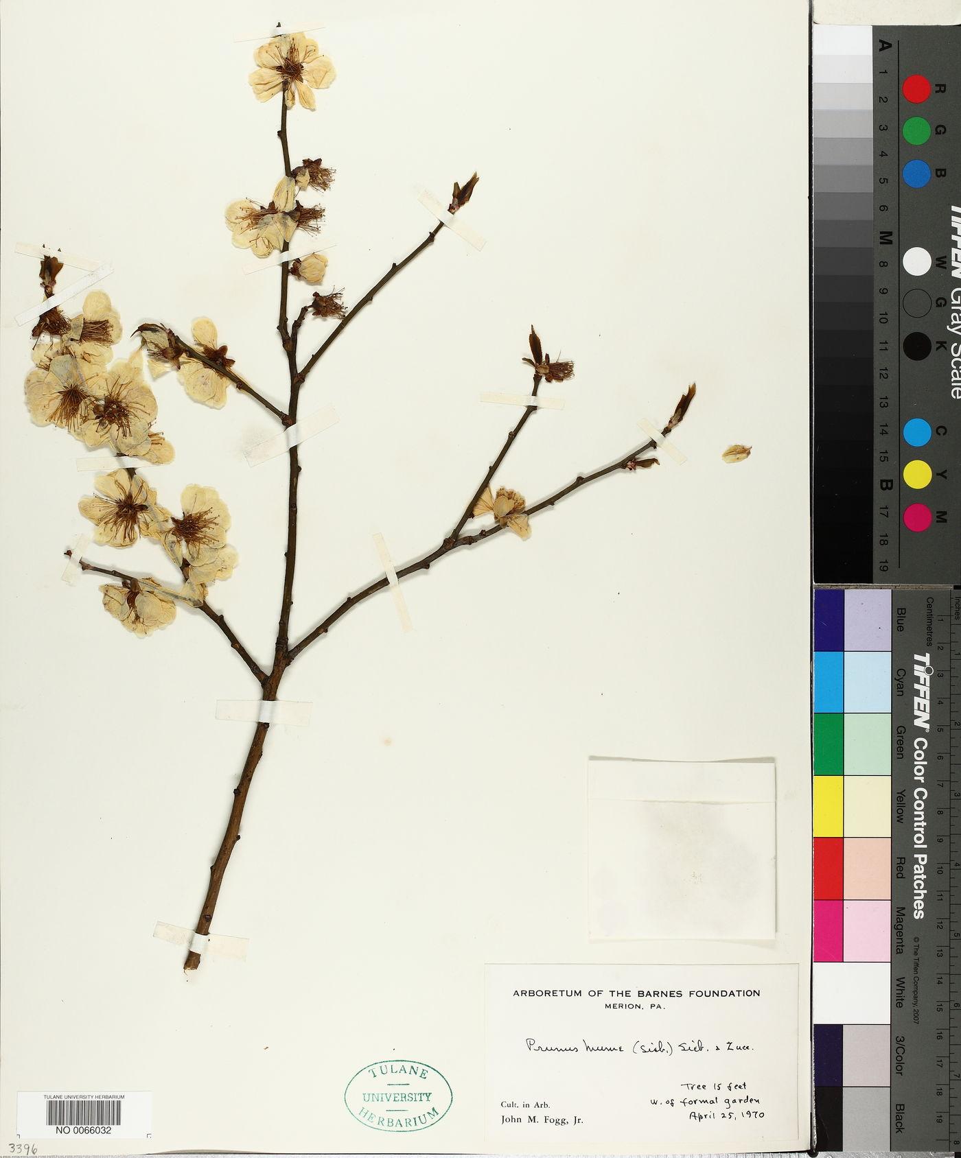 Prunus humilis image