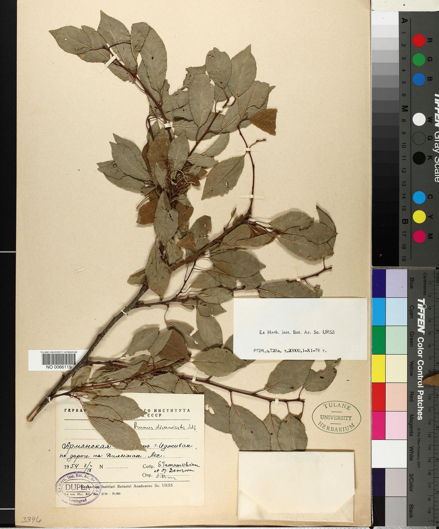 Prunus divaricata image