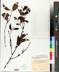 Image of Prunus samydoides