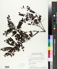 Image of Albizia pedicellaris