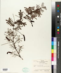 Image of Acacia jonesii