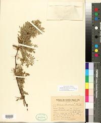 Image of Vachellia albicorticata