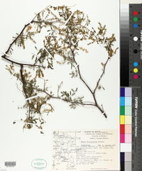 Image of Mimosa brevispica
