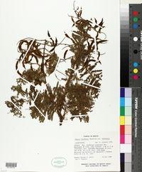 Image of Mimosa benthamii