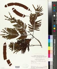 Anadenanthera peregrina image