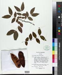 Image of Brachystegia spiciformis