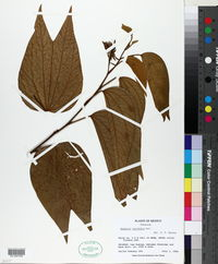 Image of Bauhinia latifolia