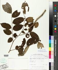 Image of Apuleia leiocarpa