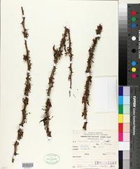 Image of Cercidium australe