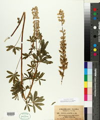Lupinus argenteus var. argentatus image