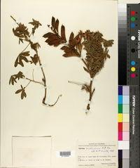 Image of Lupinus archeranus
