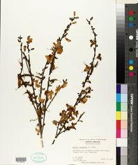 Cytisus scoparius image
