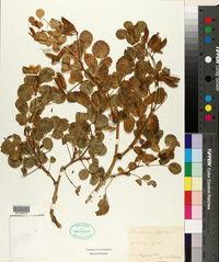 Ononis rotundifolia image
