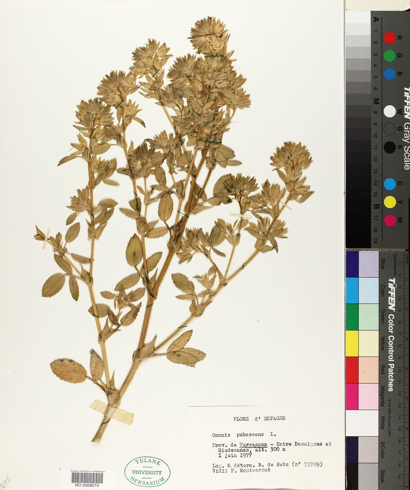 Ononis pubescens image