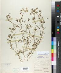 Trifolium monanthum subsp. tenerum image