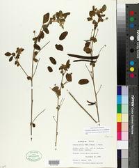 Coursetia caribaea image