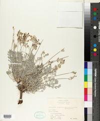 Astragalus calycosus image