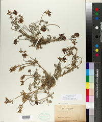 Astragalus nothoxys image