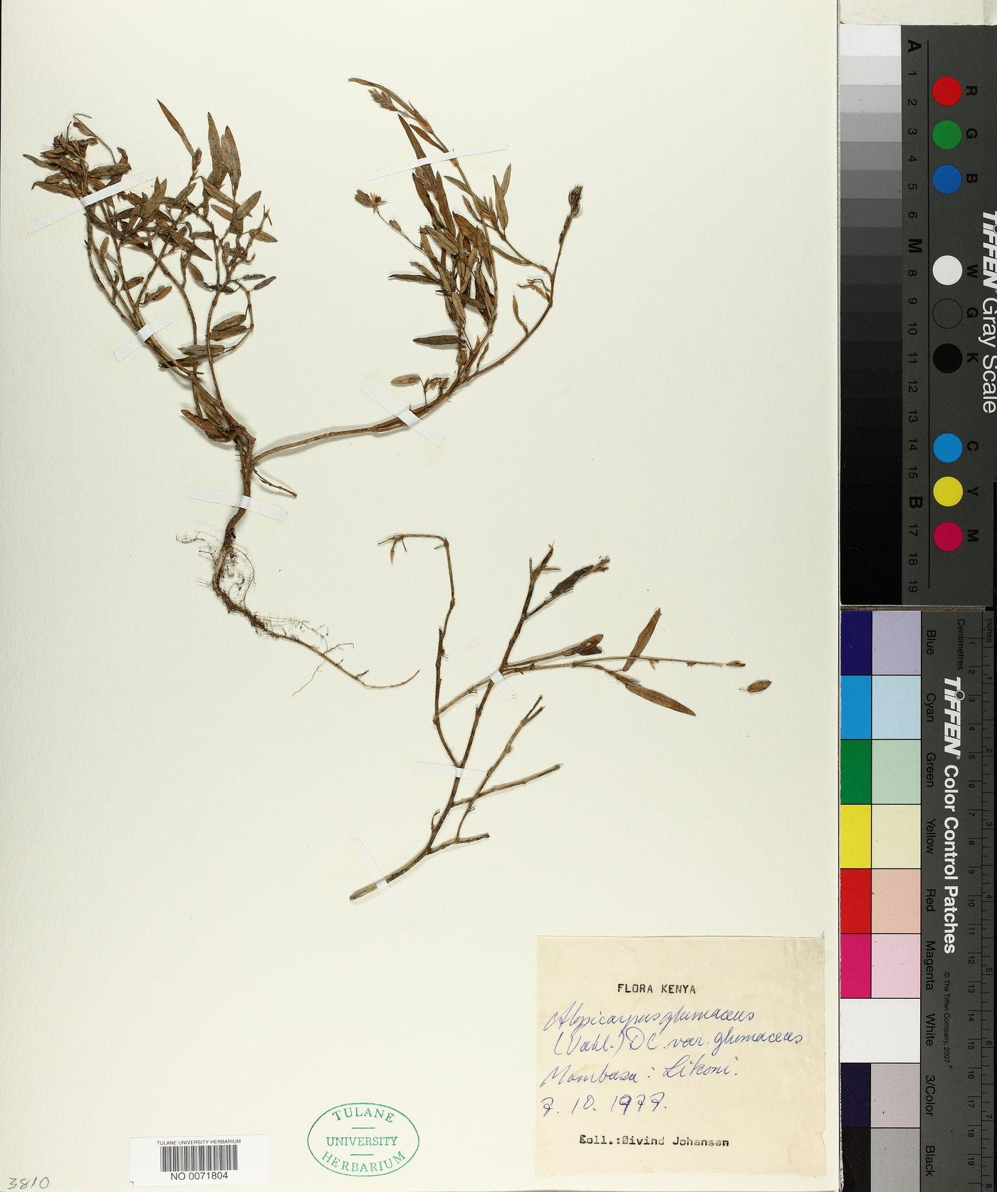Alysicarpus glumaceus image