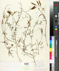 Image of Vicia graminea