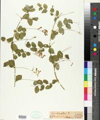 Vicia dumetorum image