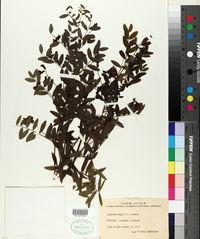 Lathyrus niger image