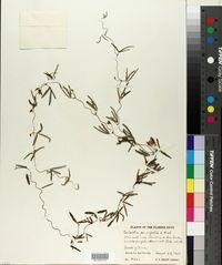 Galactia parvifolia image