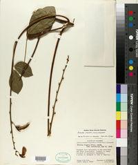 Image of Dioclea virgata