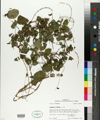 Rhynchosia minima image