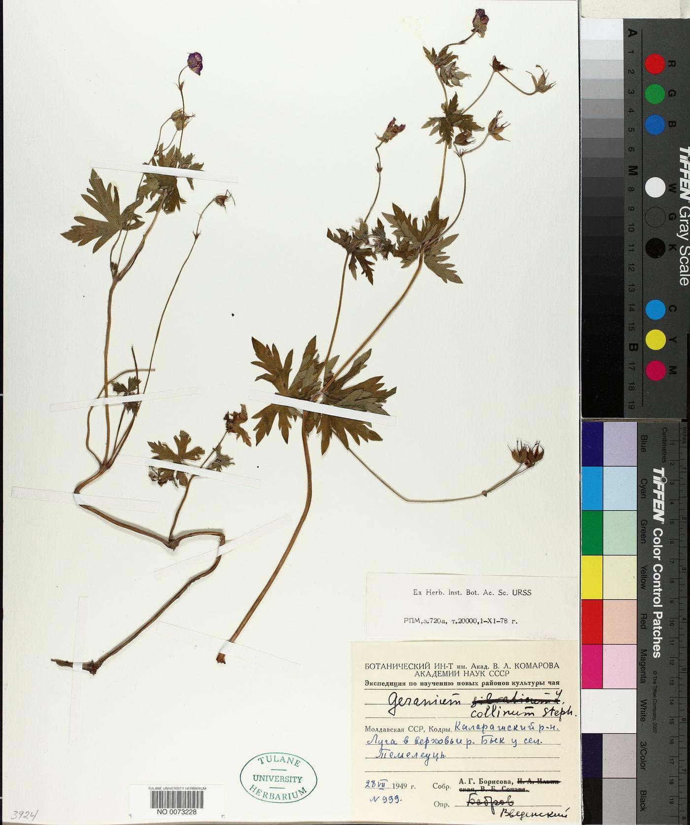 Geranium collinum image