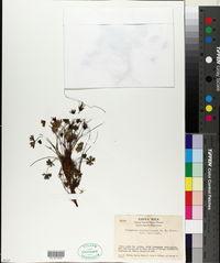 Image of Geranium costaricense