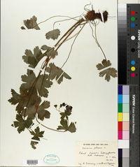 Geranium phaeum image