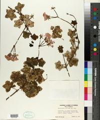 Pelargonium peltatum image