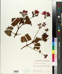 Image of Pelargonium domesticum