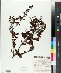 Erythroxylum cuneifolium image