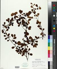 Erythroxylum rotundifolium image