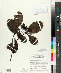 Image of Hebepetalum humiriifolium