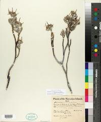 Image of Geranium cuneatum