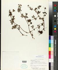 Geranium seemannii image