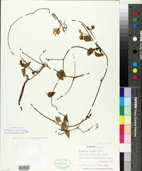 Vigna elegans image