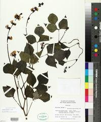 Lablab purpureus image
