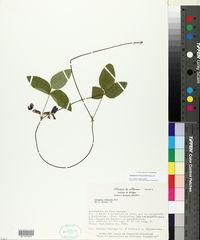Cologania rufescens image