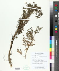 Ruta chalepensis image