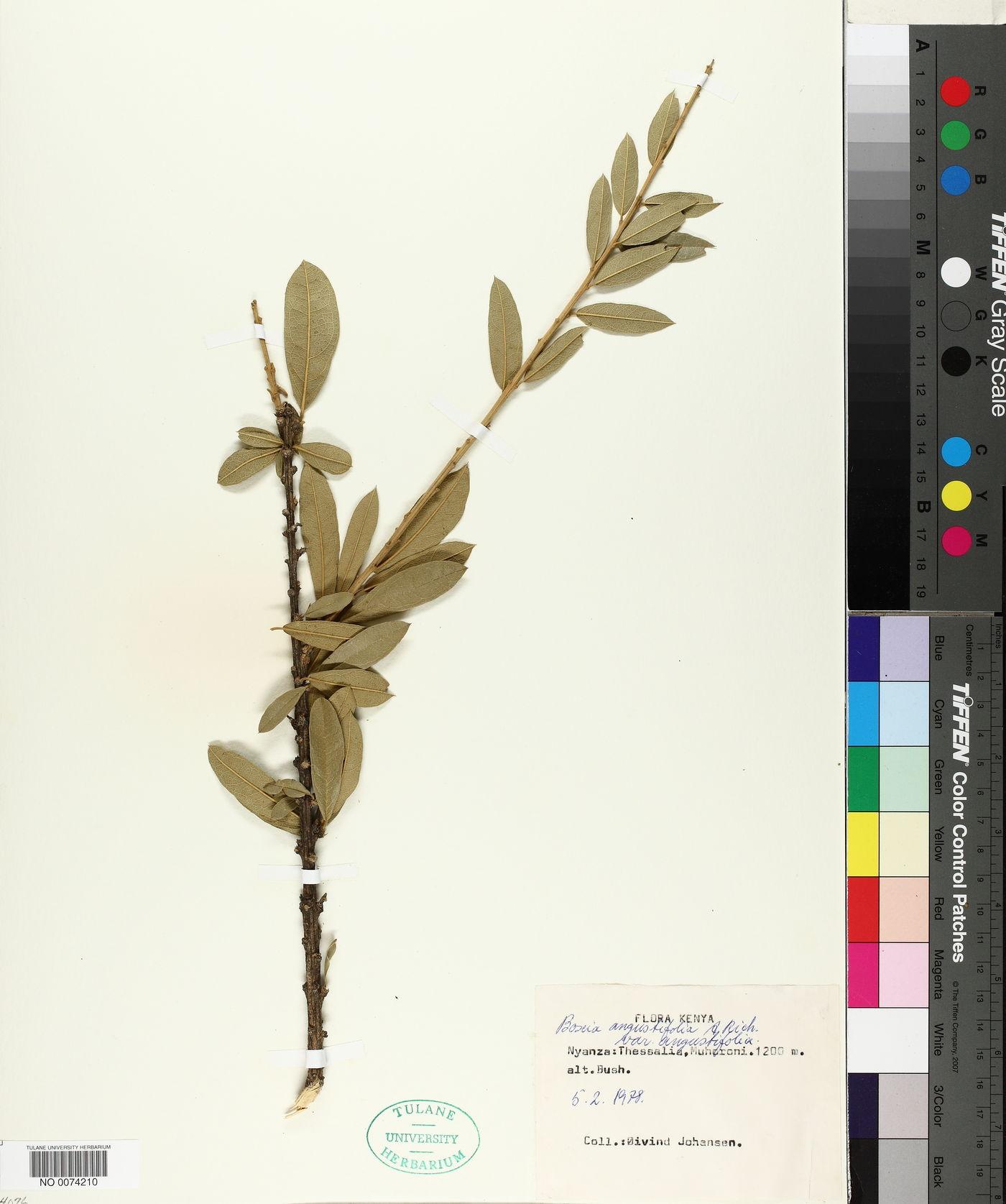 Boscia angustifolia image