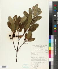 Image of Acronychia oblongifolia