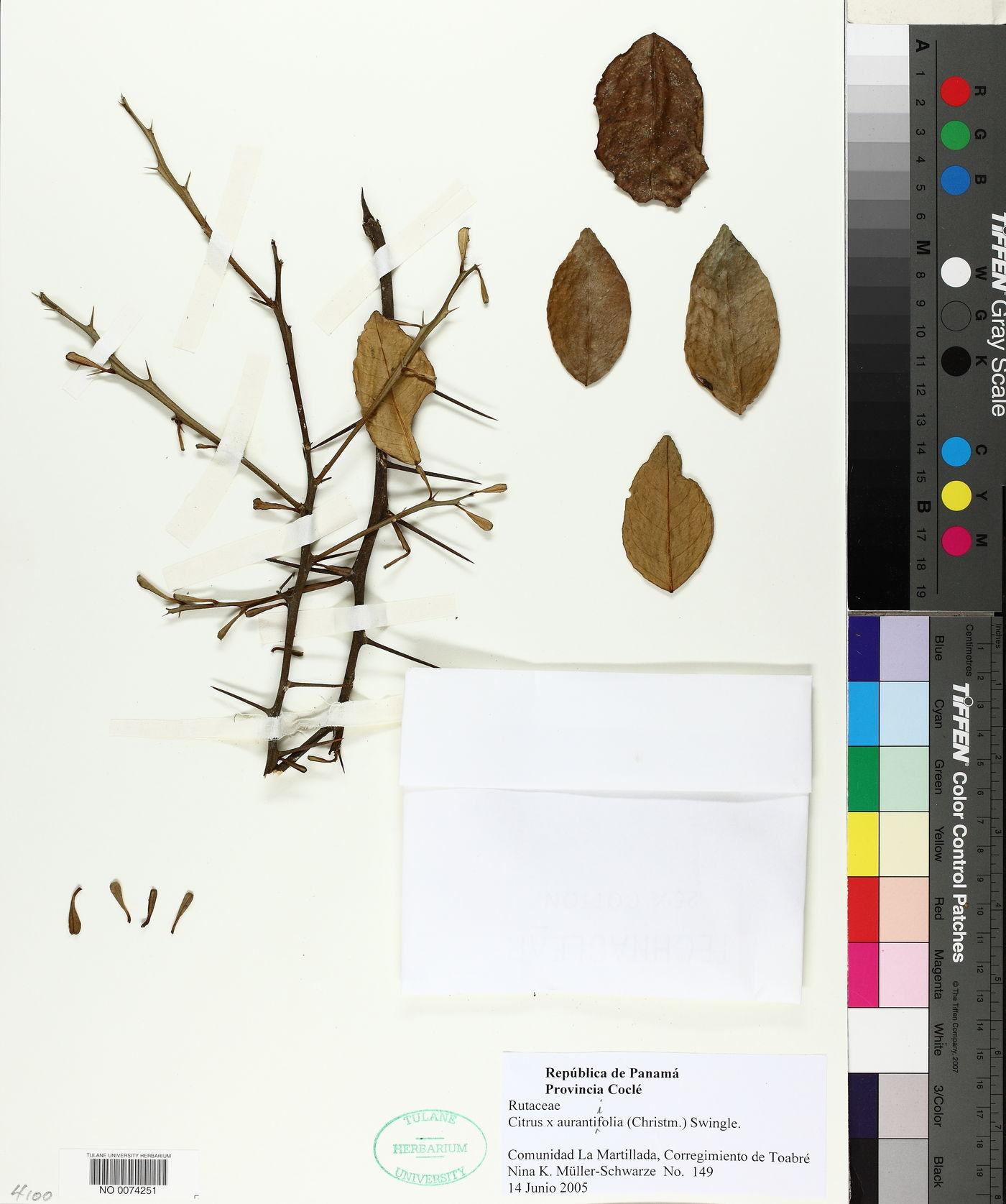 Citrus × aurantiifolia image