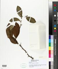 Image of Citrus × sinensis