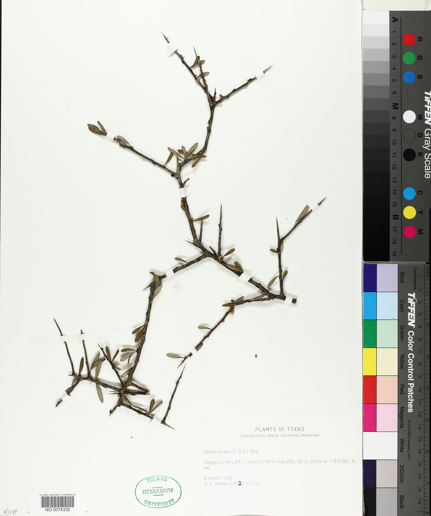Castela erecta subsp. texana image