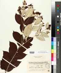 Image of Banisteriopsis paraguariensis