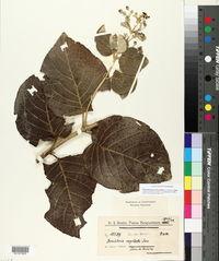 Image of Banisteriopsis oxyclada